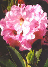 Rhododendron \'Qualicum Pride\'